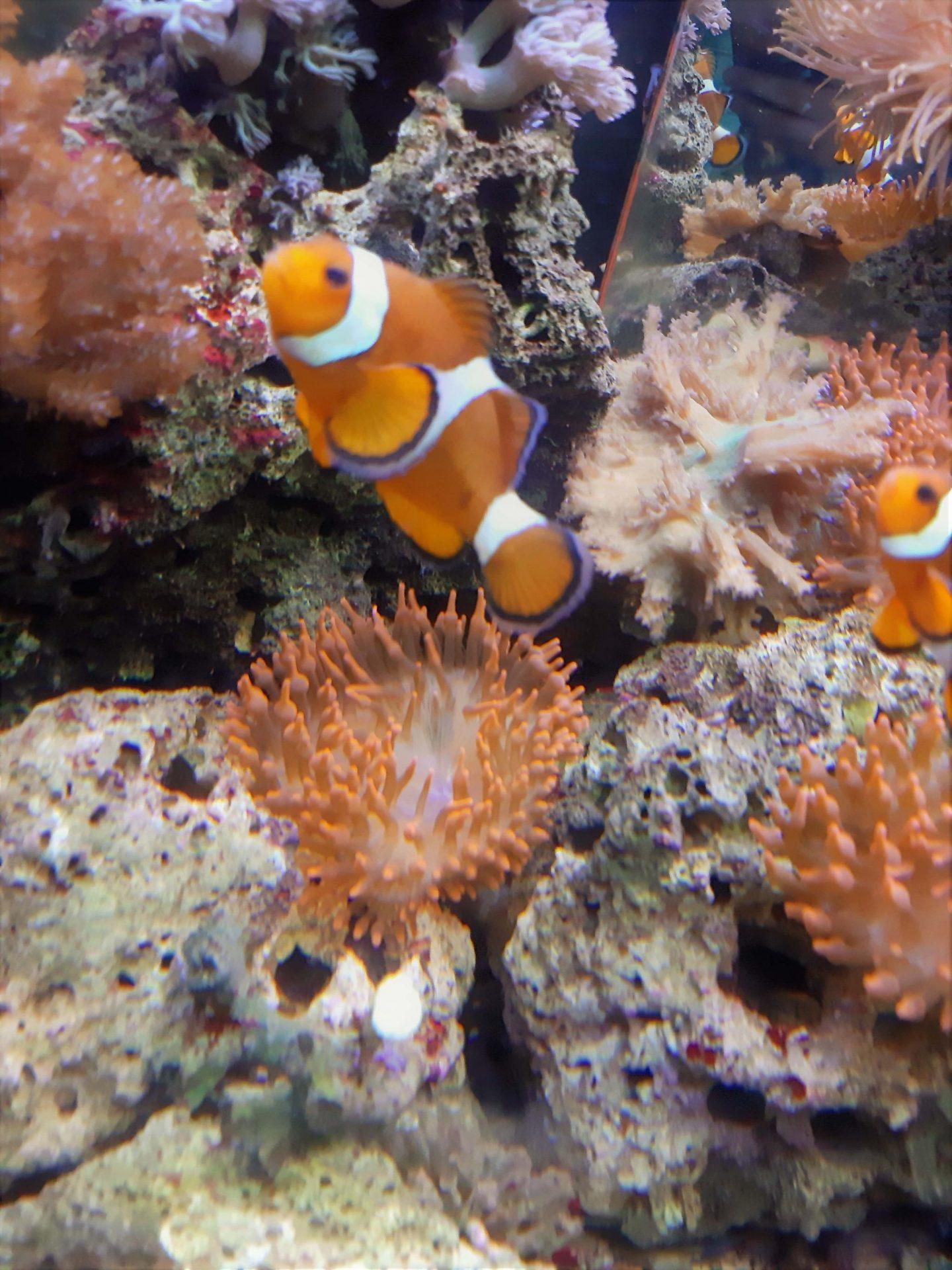 Riba klovn - Nemo © According to Kristina