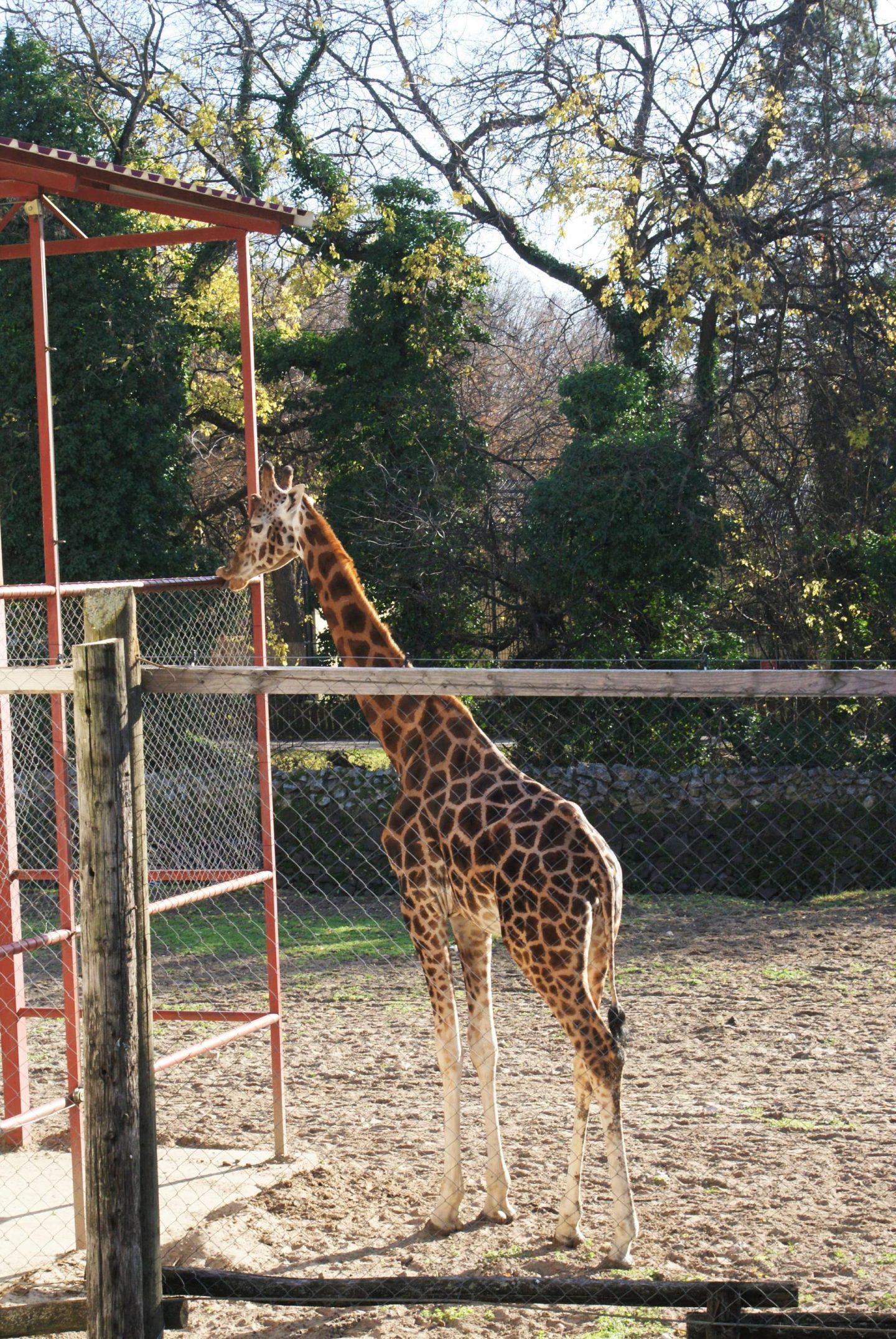 Žirafa u Zoo vrtu na Paliću © According to Kristina